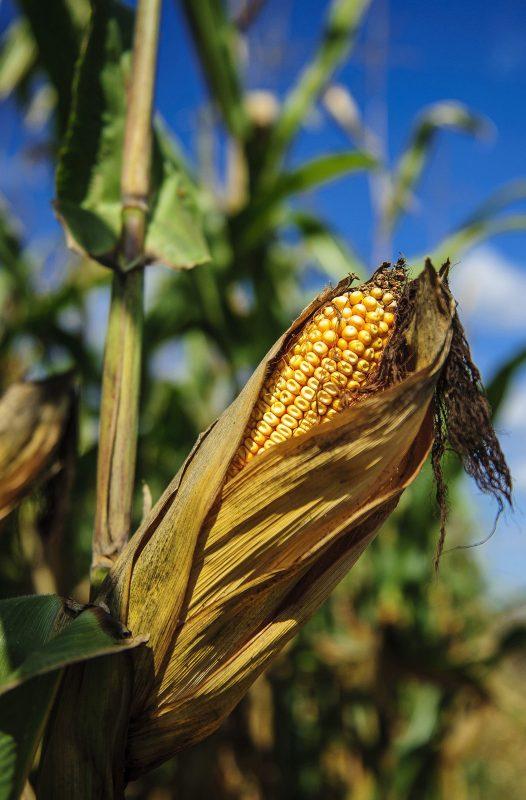 Kártevők veszélyeztetik a betárolt gabonaféléket
